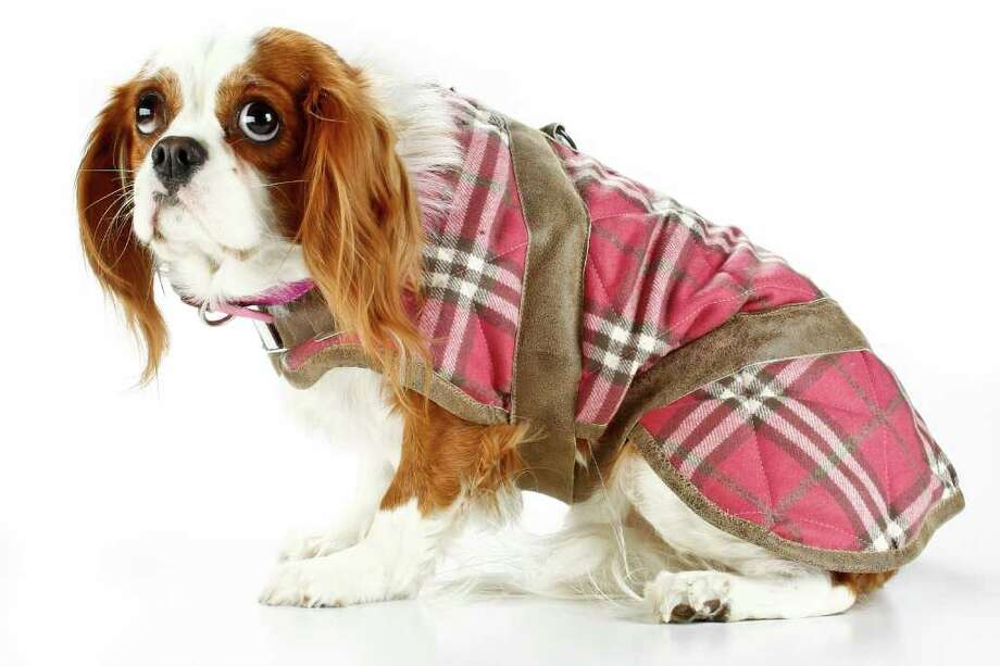 Michael Paulsen : HOUSTON chronicle MODEL BEHAVIOR: Lulu, a Cavalier King Charles spaniel, wears a Legitimutt barn coat. Photo: Michael Paulsen / © 2011 Houston Chronicle