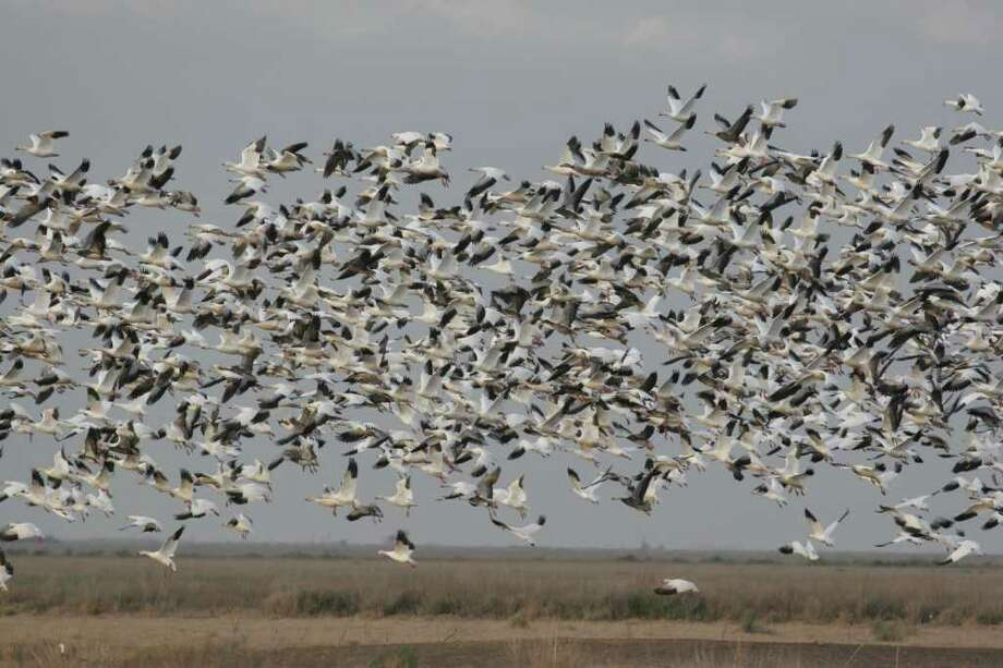 "Texas coastal prairies and marshes, which traditionally wintered as many as a million snow, blue and Ross's geese, this year is holding a record-low number of the big waterfowl. A recent aerial survey counted 253,000 ""light"" geese, the smallest number since such surveys began in the 1970s. Photo: Shannon Tompkins"