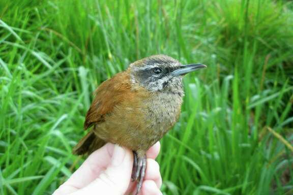 This undated handout photo provided by the journal Science shows an adult male plain-tailed wren captured on the slopes of Antisana volcano at the Yanayacu Biological Research Station and Center for Creative Studies. They may not be Sonny and Cher, but certain birds living in the Andes Mountains sing duets, taking turns  as they song goes along.