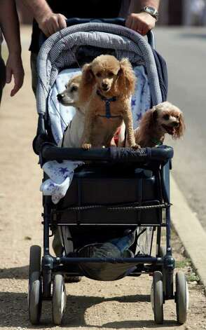 Roger and Dot Walters of Baytown, Texas walk with their dogs in front of the grounds of Wurstfest with their dogs Horry Lee (L), Reddy Lee (center) and Chilee (rt.) on Sunday. JOHN DAVENPORT/jdavenport@express-news.net Photo: JOHN DAVENPORT, SAN ANTONIO EXPRESS-NEWS / jdavenport@express-news.net