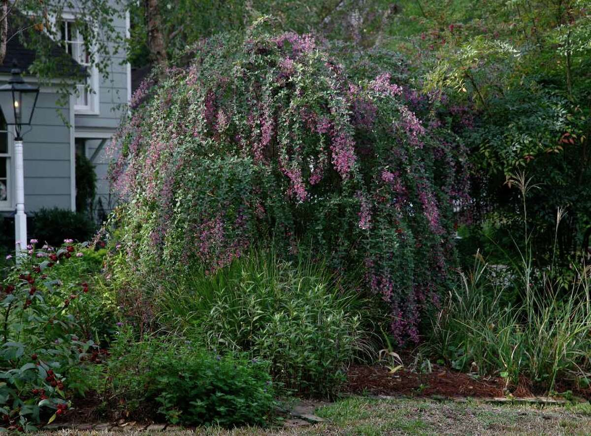 FALL SHOW-OFF: 'Little Volcano' lespedeza erupts into a fountainlike profusion or rosy-purple blooms in October. As you can see, it's outgrown its name.