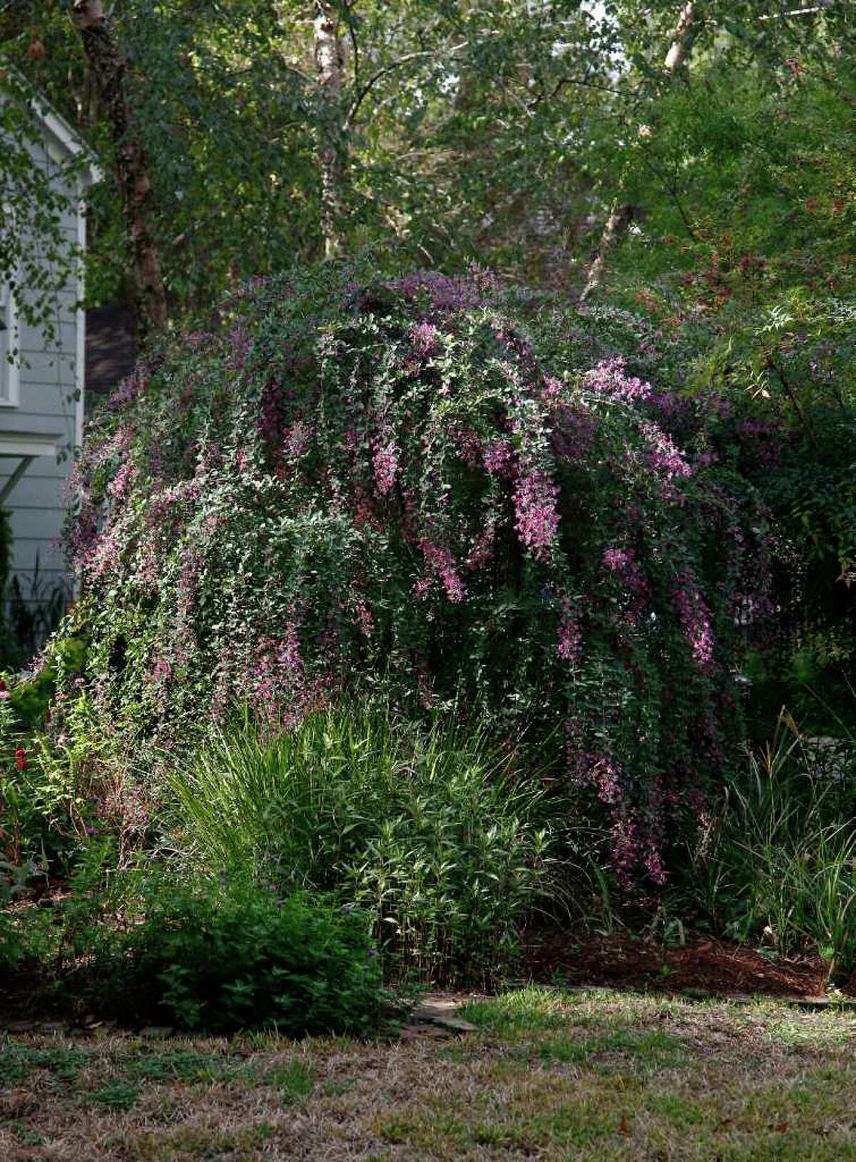 FALL'S FINEST: 'Little Volcano' lespedeza shows off its rosy-purple blooms in October.