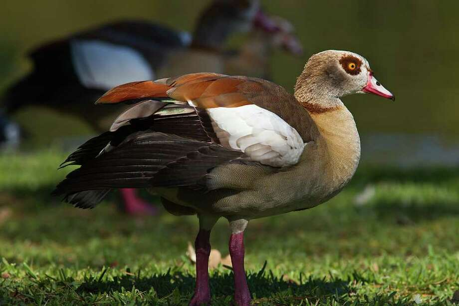 Egyptian geese, native to sub-Saharan Africa and the Nile River Valley, have invaded the area.  Photo Credit:  Kathy Adams Clark.  Restricted use. Photo: Kathy Adams Clark / Kathy Adams Clark/KAC Productions