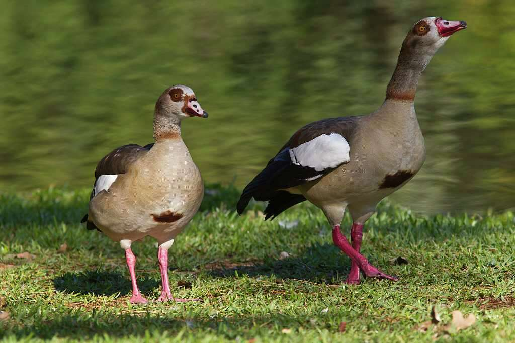 Non native egyptian geese proliferating in texas houston chronicle egyptian geese are becoming more common around area golf courses and parks they are native sciox Choice Image