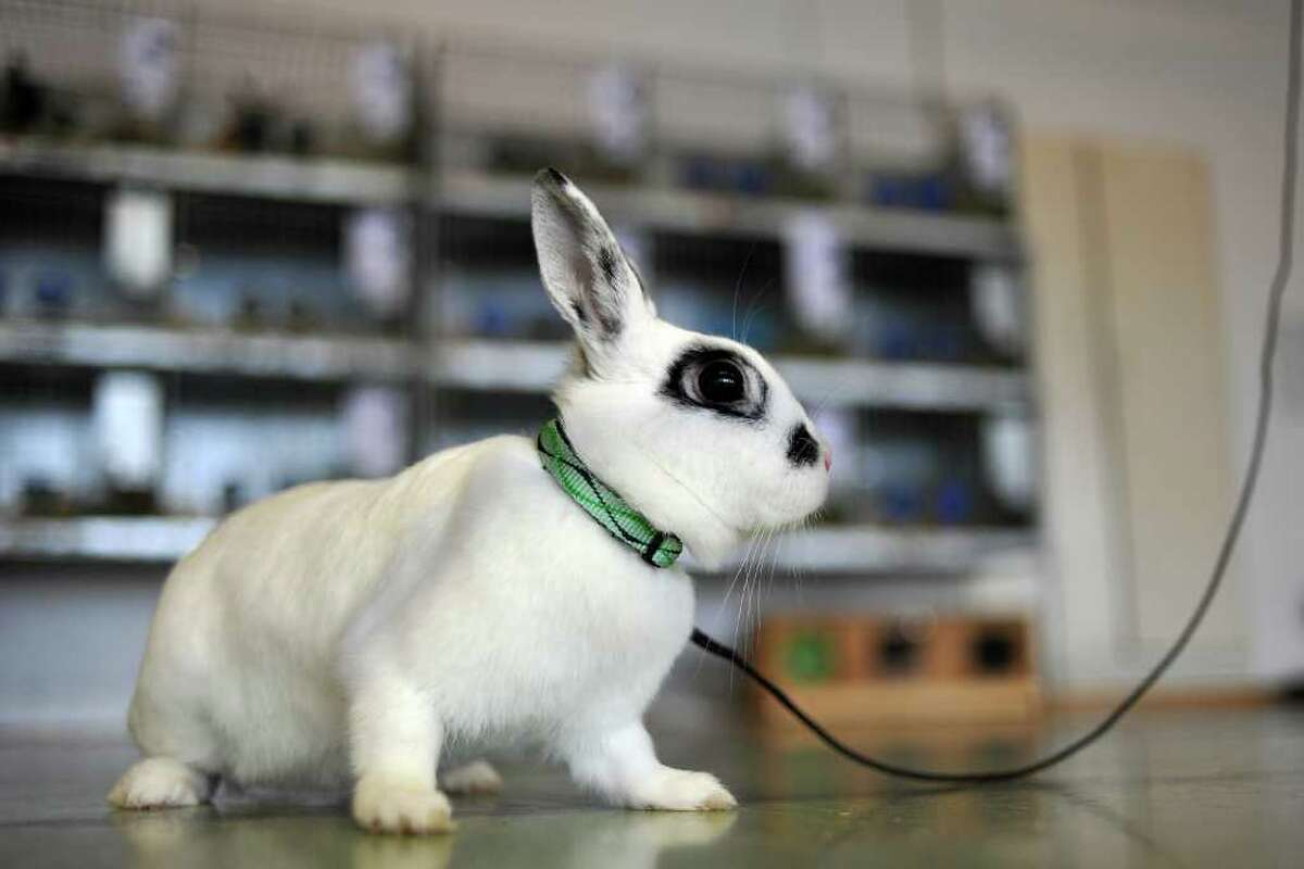WOLLERAU, SWITZERLAND - OCTOBER 30: A rabbit looks on during the first European rabbit hopping championships, which Lada Sipova-Krecova of Czech Republic won, on October 30, 2011 in Wollerau, Switzerland. Rabbit hopping is a growing trend among rabbit owners in Central Europe.