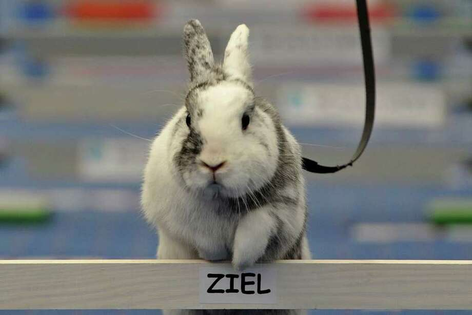 WOLLERAU, SWITZERLAND - OCTOBER 30:  A rabbit jumps over a hurdle at an obstacle course during the first European rabbit hopping championships, which Lada Sipova-Krecova of Czech Republic won, on October 30, 2011 in Wollerau, Switzerland. Rabbit hopping is a growing trend among rabbit owners in Central Europe. Photo: Harold Cunningham, Getty Images / 2011 Getty Images