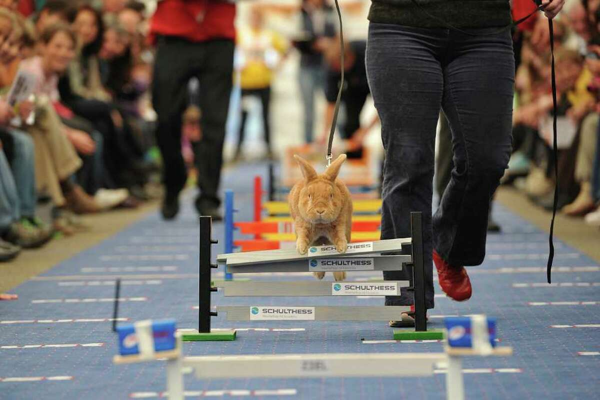 WOLLERAU, SWITZERLAND - OCTOBER 30: A rabbit jumps over a hurdle at an obstacle course during the first European rabbit hopping championships, which Lada Sipova-Krecova of Czech Republic won, on October 30, 2011 in Wollerau, Switzerland. Rabbit hopping is a growing trend among rabbit owners in Central Europe.