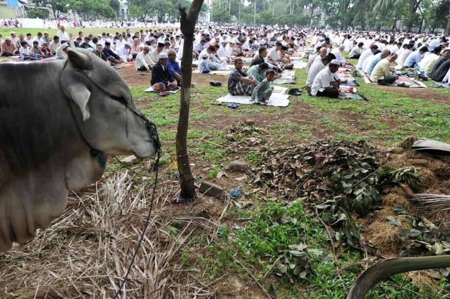 A cow stands by as Indonesian Muslims attend Eid-Al-Adha prayers in Jakarta on November 6, 2011. Muslims worldwide are observing the Eid Al-Adha festival or Feast of the Sacrifice, commemorating Abraham's willingness to sacrifice his son, Isaac. Photo: ADEK BERRY, Getty / AFP