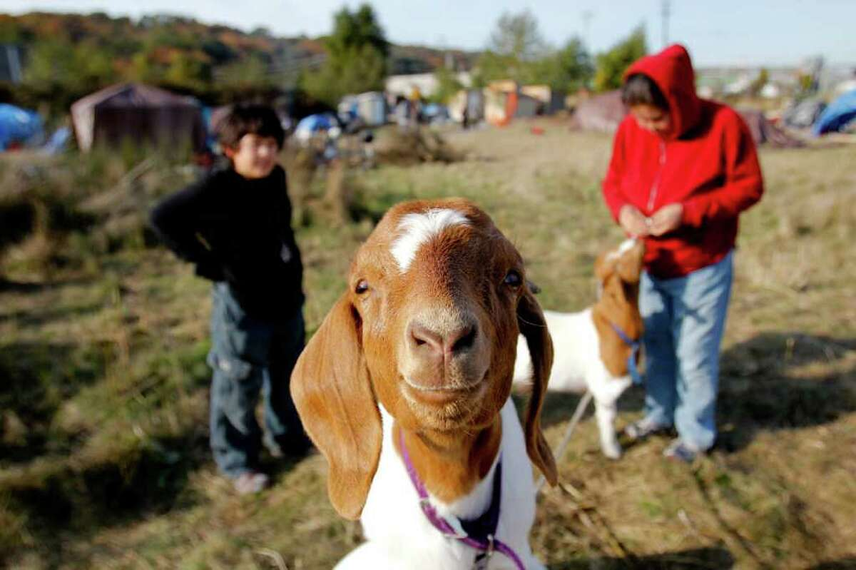 Martina Dundas, and her son K'eet, 11, play with the goats at the Nickelsville tent community in West Seattle. K'eet said they are just lawn mowers. Many people keep cats and dogs as their companions. In the far end of camp there is a special tent that functions as a playpen for cats. When describing the campsite Dundas said a lot of things are jury-rigged.