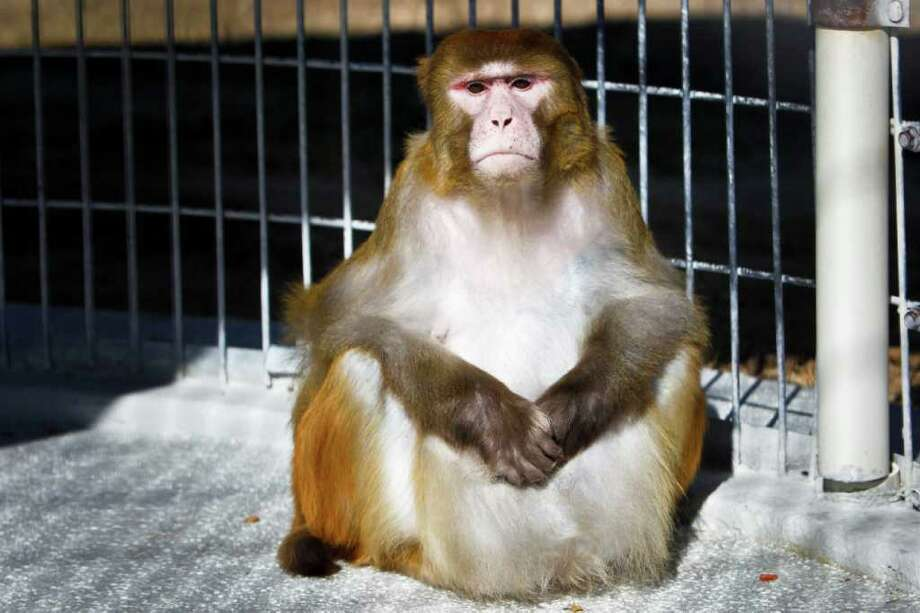 Michael Paulsen : CHRONICLE FAT CHANCE: This rhesus macaque monkey may not look happy about it, but he was part of a recent study for a new drug developed by Houston scientists that caused obese monkeys to lose 11 percent of their body weight in four weeks. Photo: Michael Paulsen / © 2011 Houston Chronicle