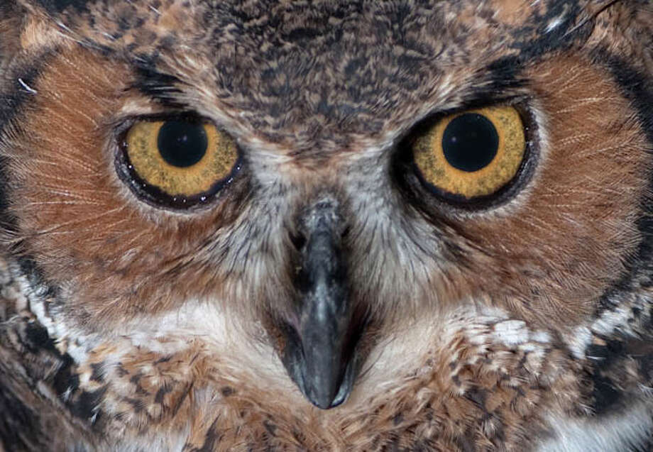 "The Connecticut Audubon Society in Fairfield will host a ""Night Eyes"" program for kids that will include a campfire sing along and exploring for nocturnal animals Friday, Nov. 18, beginning at 6 p.m. Above is a great horned owl. Photo: Contributed Photo"