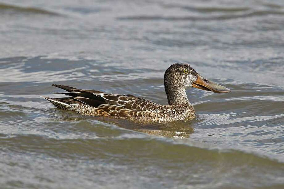 Autumn duck watching time is here.  Females, like this Northern Shoveler, can be hard to identify at a distance because they are dull and drab.  Her male counterpart is usually close by revealing her identification by association.  Photo Credit:  Kathy Adams Clark.  Restricted use. Photo: Kathy Adams Clark / Kathy Adams Clark/KAC Productions