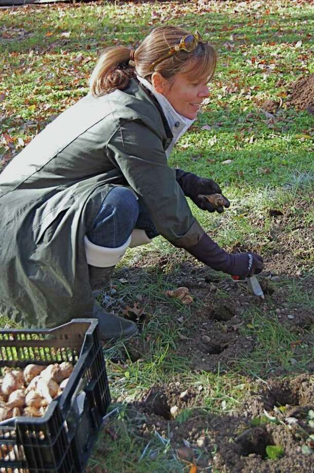 Fairfield Garden Club member Samantha Mooney prepares to plant a daffodill bulb in Riverside Park along the Mill River. She was among club members who recently planted 2,500 of the bulbs in the park, which, in the spring, will be a sea of color. Photo: Contributed Photo / Fairfield Citizen contributed