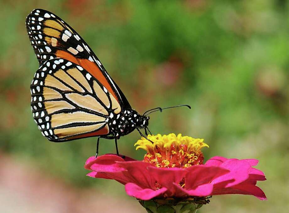 A monarch butterfly sits atop a flower at Dillingham Garden in Enid, Oklahoma Friday, Sept. 18, 2009. Photo: BH, AP / Enid News & Eagle