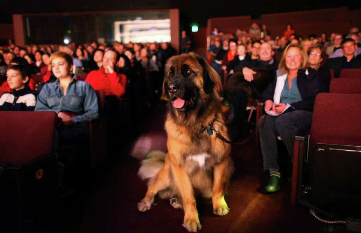 'Titan,' a massive Leonberger, sits in a aisle, watching a play during 'Dogs Night Out' at the Seattle Repertory Theatre on Sunday, November 13, 2011. 100 dogs were welcomed into the theater to see the show