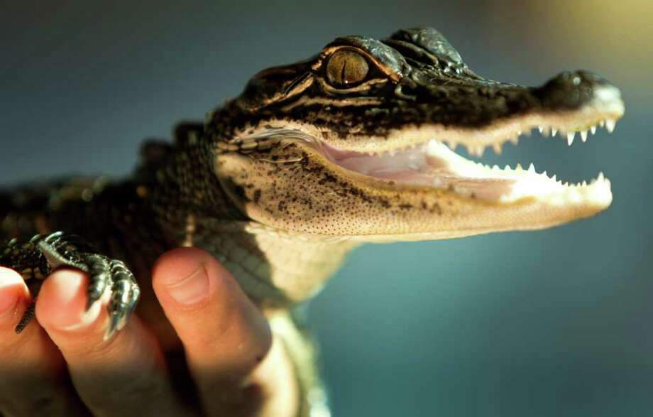 John DeFillipo, director of the John Bunker Sands Wetland Center, holds an alligator at the center Tuesday, Oct. 4, 2011, in Seagoville. Photo: Brett Coomer, Houston Chronicle / © 2011 Houston Chronicle