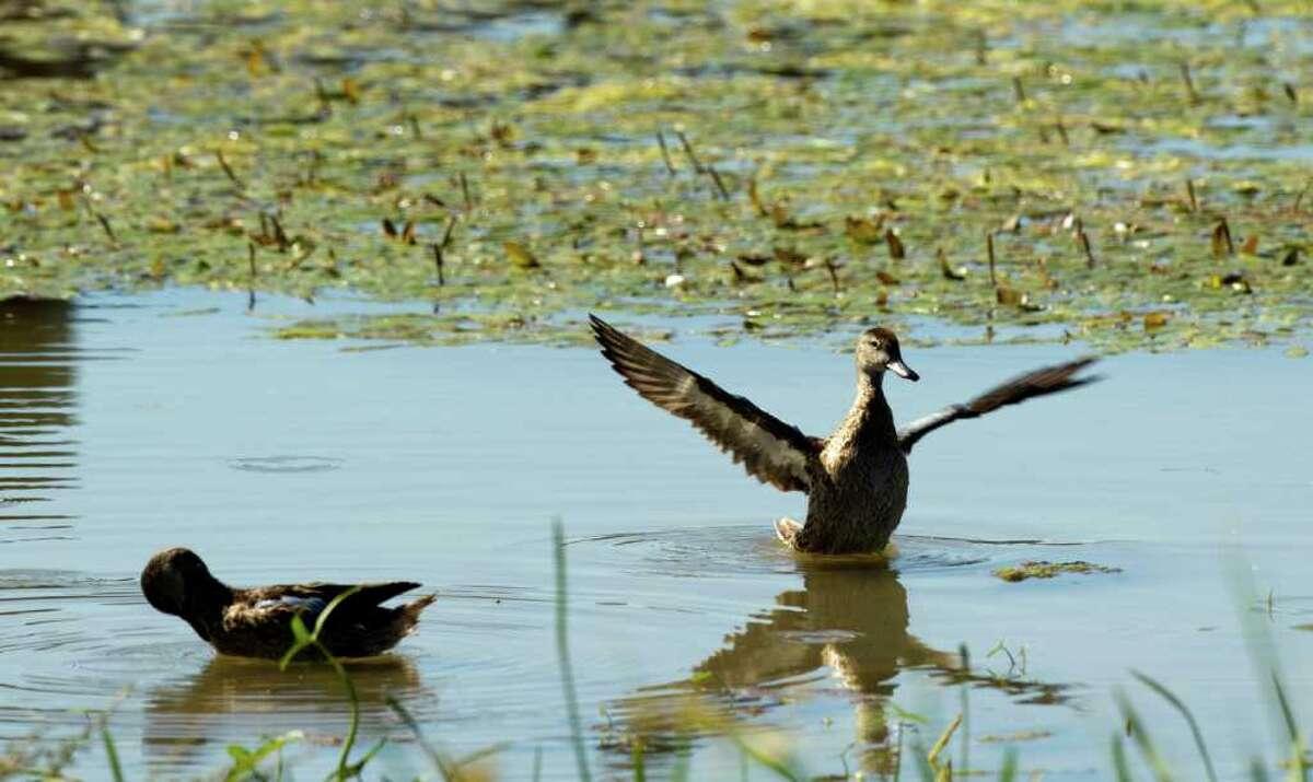 BRETT COOMER : CHRONICLE 1,840 ACRES: Ducks populate the man-made John Bunker Sands Wetland Center near Seagoville in Kaufman County.