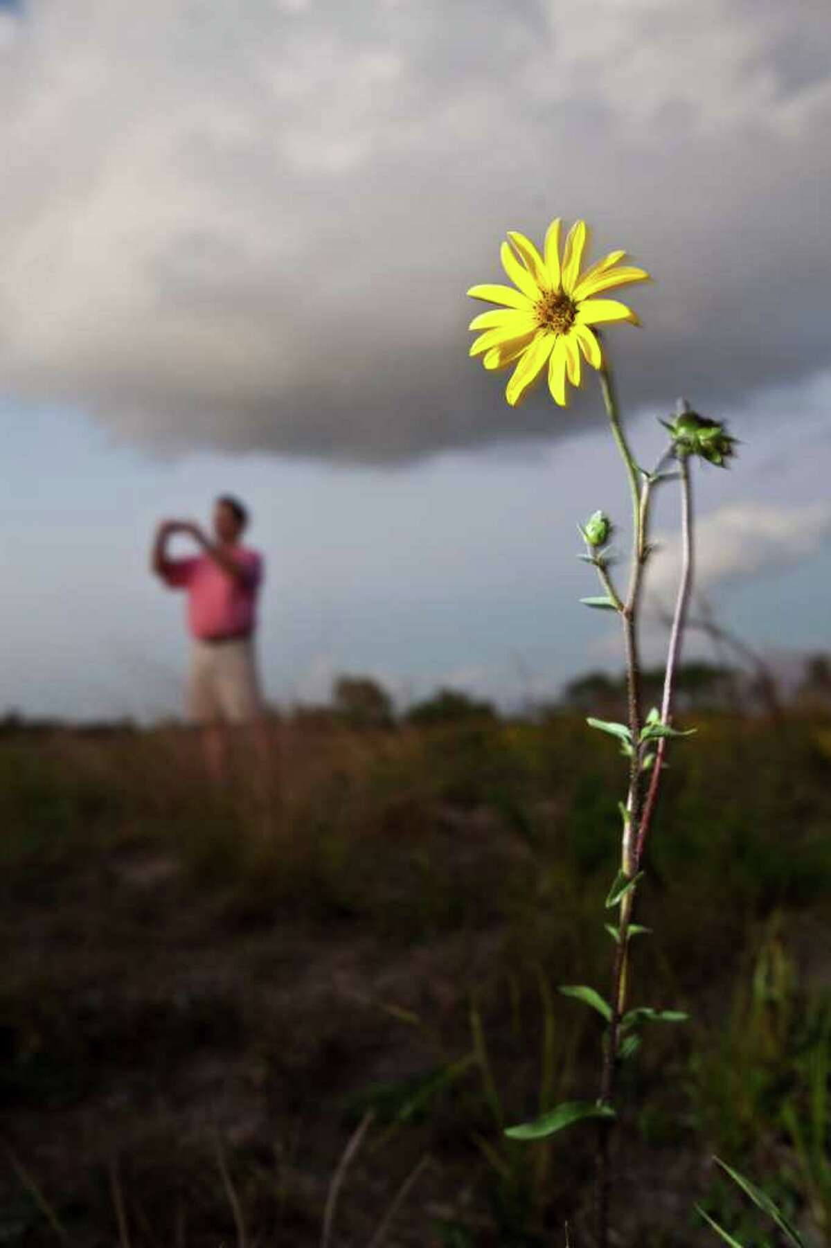 (Eric Kayne/For the Chronicle) XXXXXX: Rosinweed stands as plant enthusiasts scour a pristine coastal prairie off Spencer Highway Nov. 2, 2011 in Deer Park, TX. Their goal was to harvest plants and seeds. (Eric Kayne/For the Chronicle)