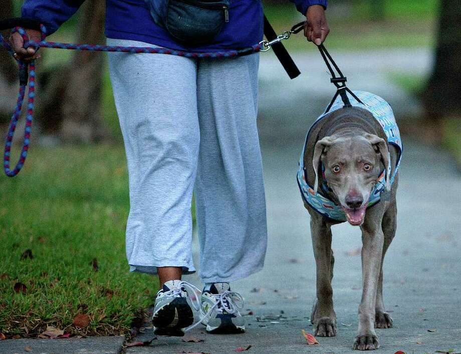 "Tina Poindexter walks her dog Argenta Thursday, Nov. 17, 2011, in Houston. Poindexter put a dog sweater on Argenta to help keep her warm. ""It's cool,"" she said of the morning weather. Photo: Cody Duty, Houston Chronicle / © 2011 Houston Chronicle"