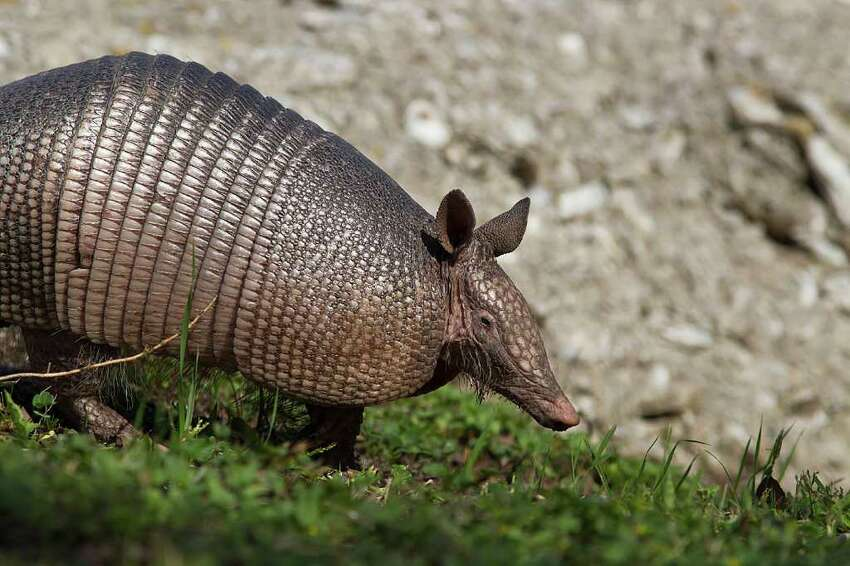 Armadillo: The nine-banded variety is Texas' official small mammal and are found around moist, soft soil where they root for grubs, worms, insects, and beetles.