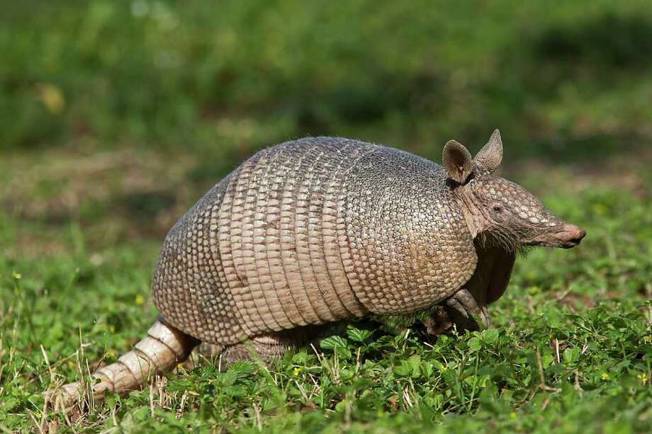 Nine-banded armadillo is the Texas state small mammal.  Photo Credit:  Kathy Adams Clark.  Restricted use. Photo: Kathy Adams Clark / Kathy Adams Clark/KAC Productions