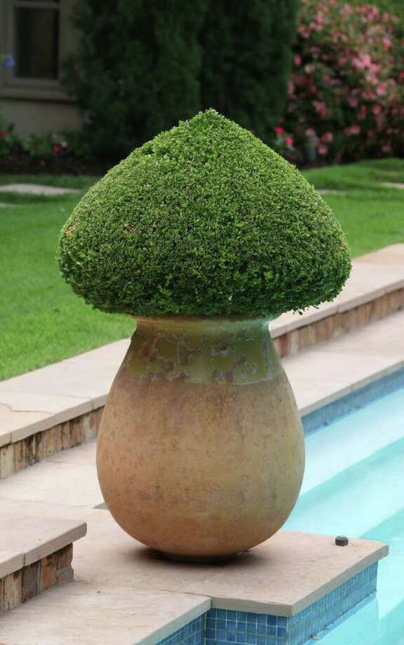 KEEPING TRADITION: Boxwood is a longtime favorite container evergreen. Occasionally snip to maintain the shape you like. Photo: Alan Warren / ©2011 Houston Chronicle