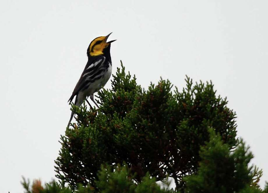 A golden-cheeked warbler calls from an Ashe juniper tree in The Dominion neighborhood. They tend to nest and forage along creeks on steep-sided slopes. Photo: LISA KRANTZ, SAN ANTONIO EXPRESS-NEWS / SAN ANTONIO EXPRESS-NEWS