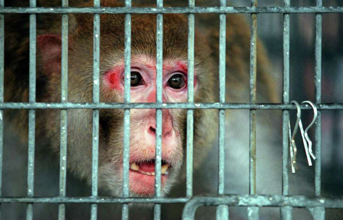 The Wild Animal Orphanage took in this rhesus macaque in 1998. Along with a baboon, 112 macaques will be placed at Born Free USA Primate Sanctuary.