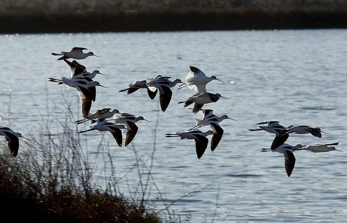 American Avocets, who are frequently seen in tidal marshes, fly into Grays marsh in Petaluma, Calif.
