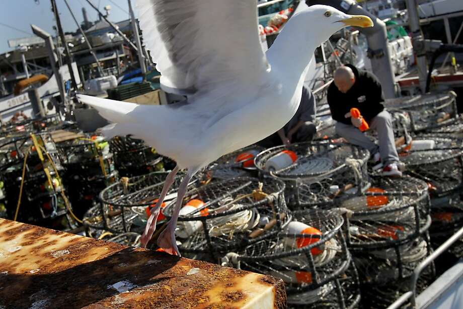 A California gull flies off the pier as boats laden with crab pots wait. All along the San Francisco waterfront, crab fisherman are waiting for the word to begin setting their pots. Photo: Brant Ward, The Chronicle