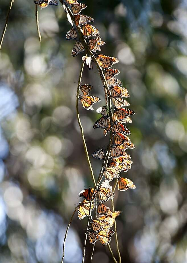 Monarch Butterflies clustered on Albany Hill in Albany, Calif., on Wednesday, Nov. 9, 2011. Photo: Doug Donaldson