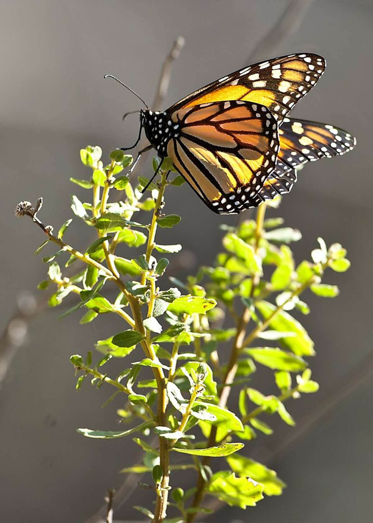 Monarch Butterflies clustered on Albany Hill in Albany, Calif., on Wednesday, Nov. 9, 2011.