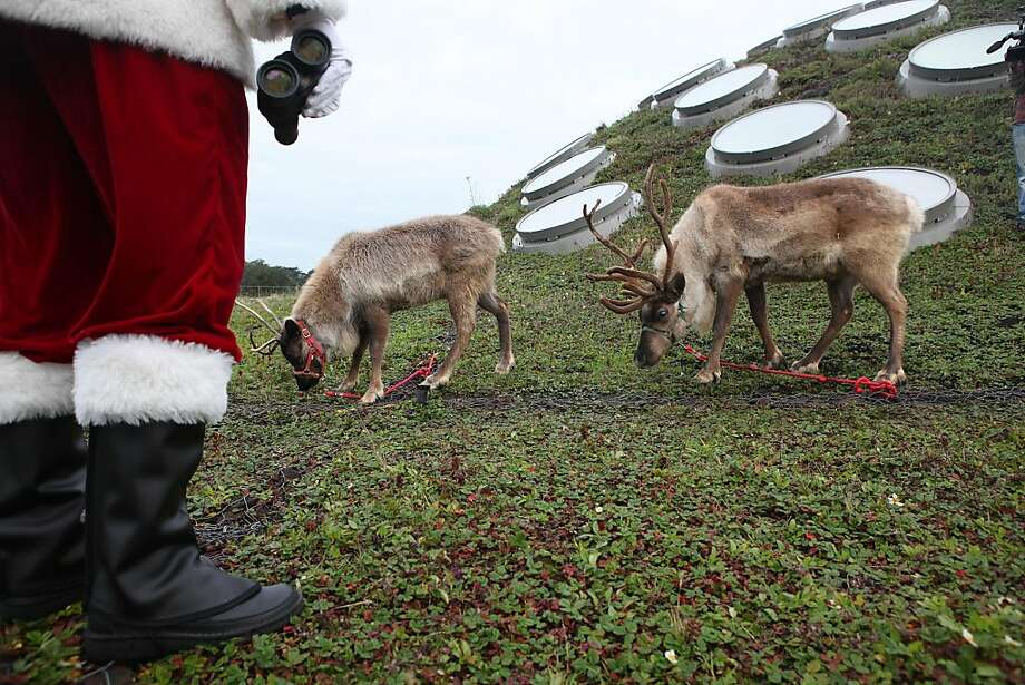 Entomologist Dave Kavanaugh (santa) on the California Academy of Sciences' living roof with reindeer Miles (right) and an unnamed female reindeer (left) in San Francisco, Calif., on Tuesday, November 22, 2011.  There is a naming contest for the female reindeer which can be found on the California Academy of Sciences website. Photo: Liz Hafalia, The Chronicle