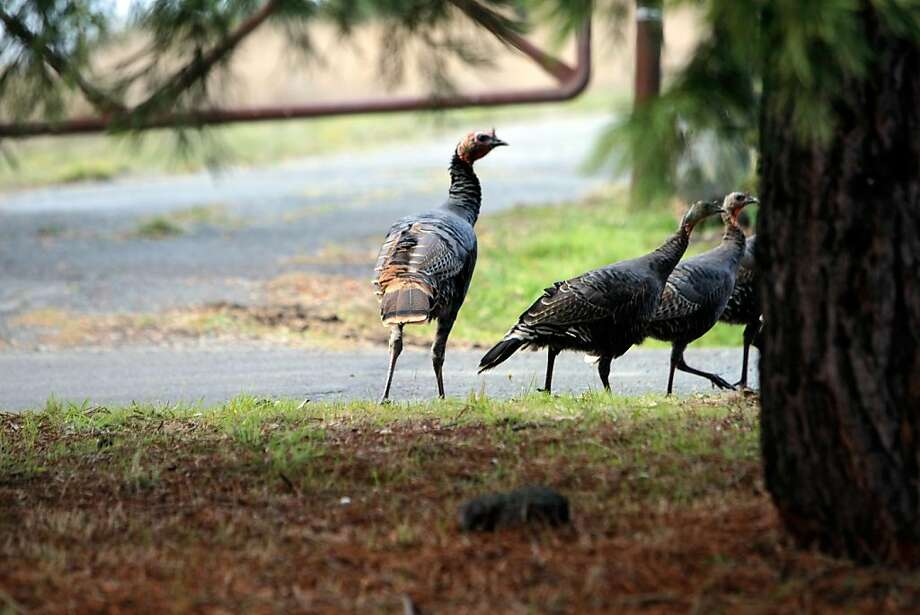 Wild turkeys roam through Deer Park in Fairfax, Calif., on Friday, Nov. 17, 2011. Photo: Thomas Webb, The Chronicle