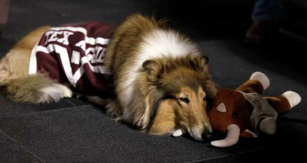 Texas A&M mascot Reveille lies on the sidelines with a stuffed longhorn during the first quarter of an NCAA college football game between Texas A&M and Texas at Kyle Field Thursday, Nov. 24, 2011, in College Station. Photo: Brett Coomer, Houston Chronicle / © 2011 Houston Chronicle