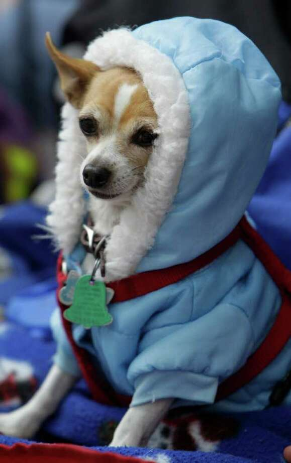Snickers a Chihuahua owned by Debbie West is dressed for the cold weather during the 62nd Annual Holiday Parade on Thanksgiving Day in downtown Houston Thursday, Nov. 24, 2011. ( Melissa Phillip / Houston Chronicle ) Photo: Melissa Phillip / © 2011 Houston Chronicle
