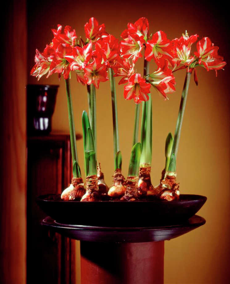 Plant multiple amaryllis bulbs per pot for a dramatic holiday display. / handout email