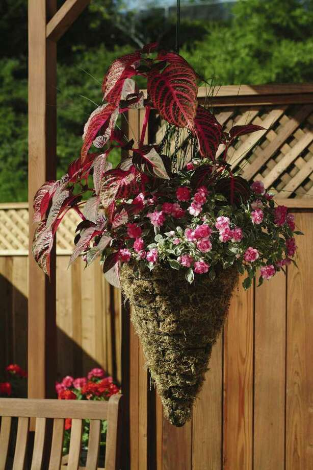 GARDEN MEDIA GROUP MULTICOLOR LEAVES: Gardeners are using foliage plants such as 'Blazin Rose' iresine to boost color in the garden. / handout email