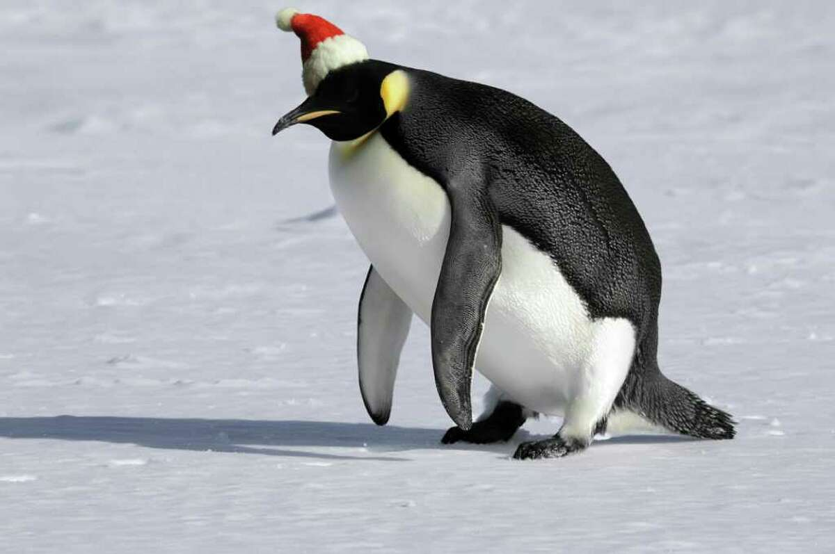 Penguin in Christmas hat to illustrate overdoing it during the holidays.
