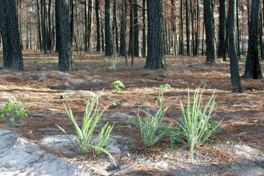 FORREST M. MIMS III REGROWTH: Yuccas, oaks and other plants are emerging through the ashes of burned trees in the Lost Pines. Photo: FORREST M MIMS 111, FOR THE EXPRESS-NEWS