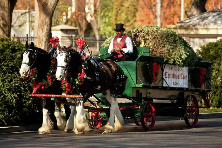 The official White House Christmas Tree arrives via horse-drawn carriage at the White House on November 25, 2011 in Washington, DC. The tree, a 19-foot-tall balsam fir, was grown on Schroeder's Forevergreens farm near Neshkoro, Wisconsin. Photo: Brendan Hoffman, Getty / 2011 Getty Images