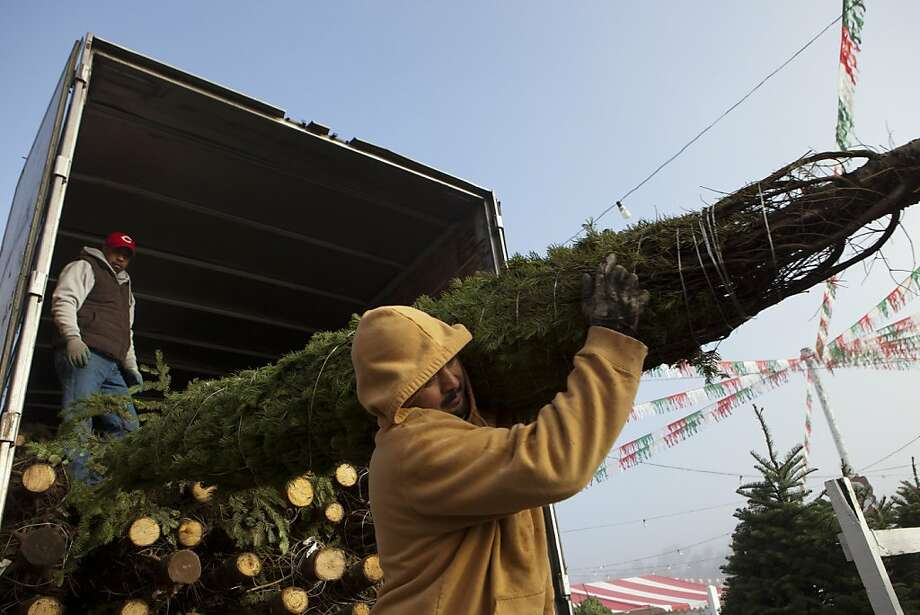 Hector Alvarado, left, and Ricardo Garcia unload a semitrailer full of fresh cut pines trees in preparation for opening day at Battaglia Ranch, a Christmas tree farm, on Monday, November 21, 2012 in San Martin, Calif. Photo: John Sebastian Russo, Special To The Chronicle