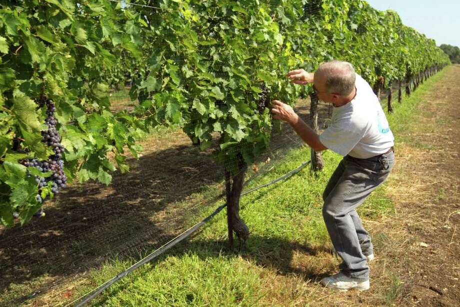 JAY JANNER : ASSOCIATED PRESS TOUGH YEAR FOR VINEYARDS: Gary Elliott, winemaker and owner of Driftwood Estate Winery, checks on the condition of his Sangiovese grapes in July. Photo: Jay Janner / Austin American-Statesman