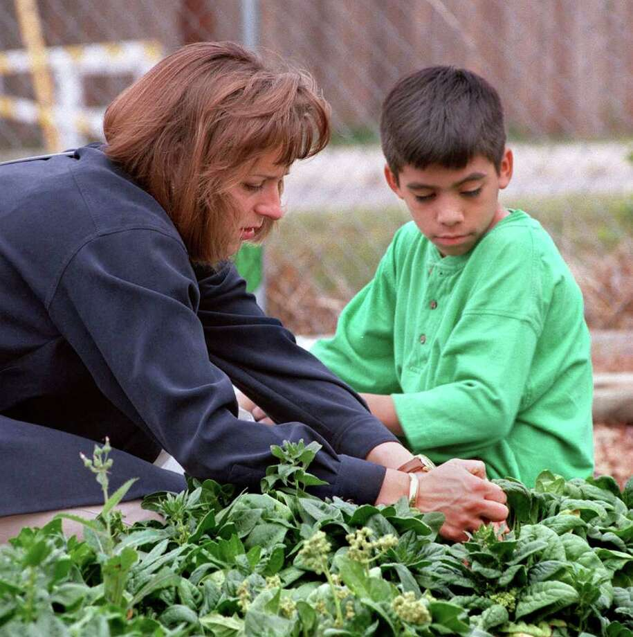 Plant now for fresh spinach all winter and into the spring. Harvest it leaf by leaf and never remove more than one-third of the leaves at any one time in order to sustain the plant. Photo: JERRY LARA, File Photo / EN