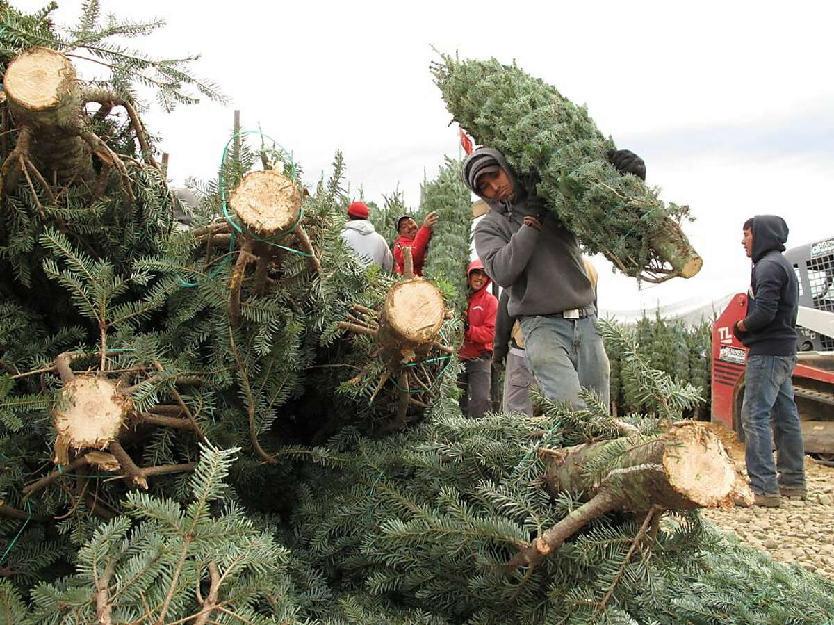 Because Texas' climate limits what kinds of Christmas trees can be grown, Texans frequently buy trees shipped in from out-of-state. Kathryn West, co-manager at Papa Noël Trees in Alamo Heights, said the company's trees ship from farms in Oregon and North Carolina in refrigerated trucks. Pictured, workers sort Christmas trees for shipping at G&S Trees in Laurel Gap, N.C., on Sunday, Nov. 13, 2011. Western North Carolina is dotted with Christmas tree farms. (AP Photo/Allen Breed)