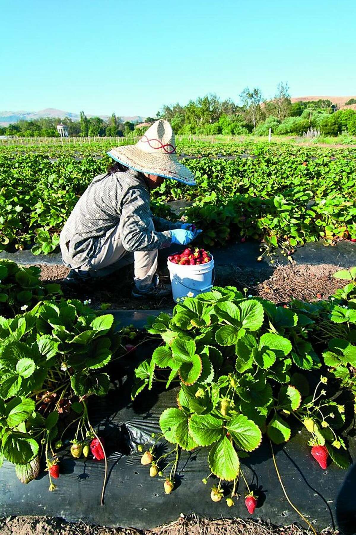 Muang Saechao picks strawberries that she and her husband farm at Iu-Mien Village Farms in the Sunol AgPark. Muang Saechao picks strawberries that she and her husband farm at Iu-Mien Village Farms in the Sunol AgPark. Photo by Stephen Joseph, stephenjosephphoto.com.