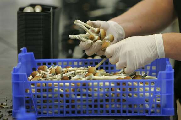 "** FILE ** Magic mushrooms are being weighed and packaged  at the Procare farm in Hazerswoude, central Netherlands on this Aug. 3, 2007 file photo. The Dutch government will ban the sale of hallucinogenic mushrooms, a spokesman for the Justice Ministry said on Friday, Oct. 12, 2007, rolling back one element of the country's permissive drug policy after a series of well-publicized negative incidents. The decision will go into effect within several months and does not need parliamentary approval. ""We intend to forbid the sale of magic mushrooms,"" he said. ""That means shops caught doing so will be closed. Psilocybin, the main active chemical in the mushrooms, has been illegal under international law since 1971. However, fresh, unprocessed mushrooms continued to be sold legally in the Netherlands along with herbal medicines in so-called ""smart-shops,"" on the theory that it was impossible to determine how much of the naturally occurring substance any given mushroom contains. (AP Photo/Peter Dejong, File) Ran on: 10-13-2007 Hallucinogenic mushrooms are weighed and packaged at a farm in the Netherlands. Ran on: 10-13-2007"