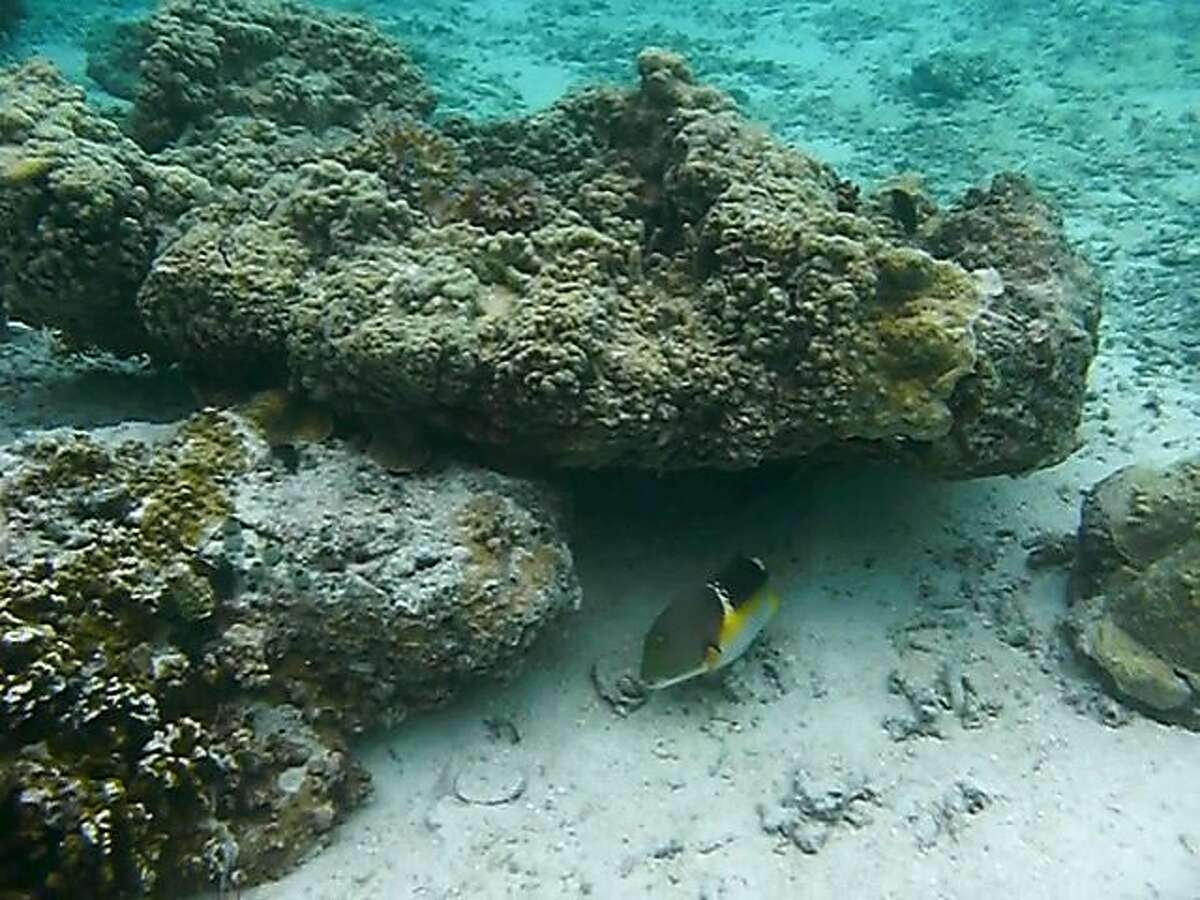 A wrasse fish uses a rock as a tool.