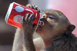 "A monkey drinks soda from a can during the annual ""monkey buffet"" in front of an ancient temple in Lopburi province, some 150 kms north of Bangkok on November 27, 2011. More than 2,000 kilos of fruits and vegetables were offered to monkeys during the annual festival to help promote tourism in the area.   AFP PHOTO / Pornchai KITTIWONGSAKUL (Photo credit should read PORNCHAI KITTIWONGSAKUL/AFP/Getty Images)"