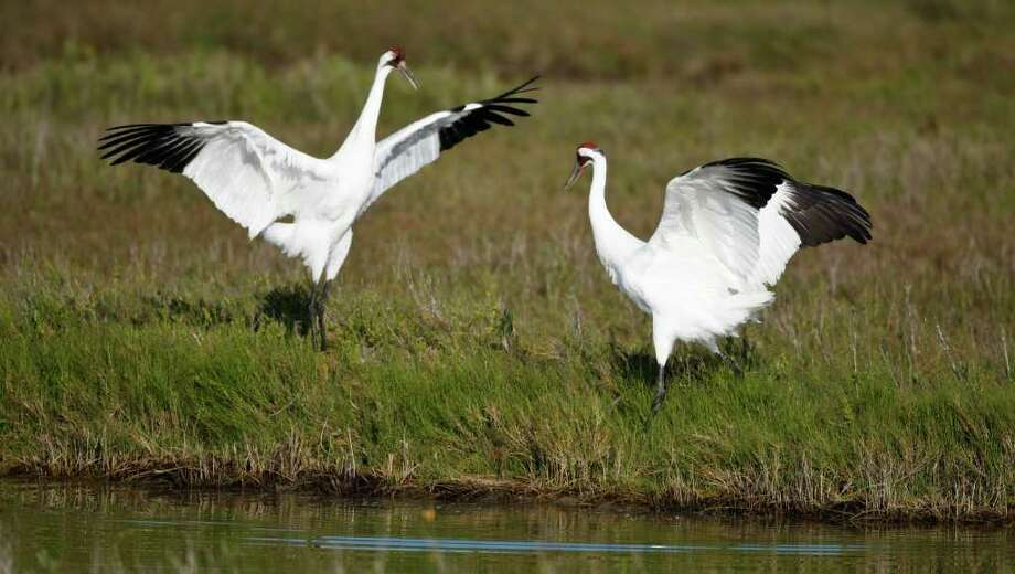 A male Whooping Crane does a mating dance as he and a female forage for food Thursday, March 4, 2010, at the Aransas National Wildlife Refuge. The Cranes suffered through the drought of 2008-2009 because it increased the salinity of the water in the pass. The increase of salt killed the crabs and other marine animals they eat starving them.  ( Nick de la Torre / Chronicle ) Photo: Nick De La Torre / Houston Chronicle
